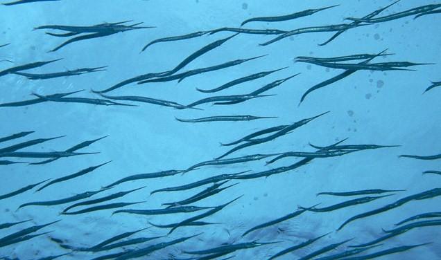 pesci a galla surfcasting