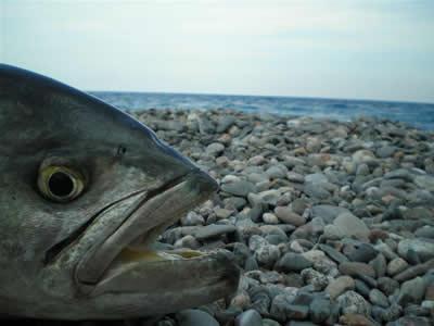 pesce serra surfcasting