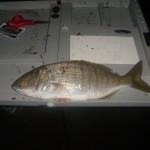 Pesca a fondo alle mormore dalla riva