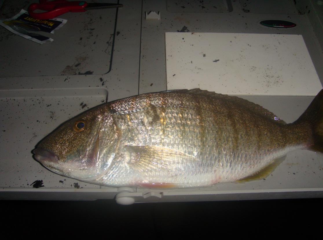 Surfcasting: maledetto pesce serra…