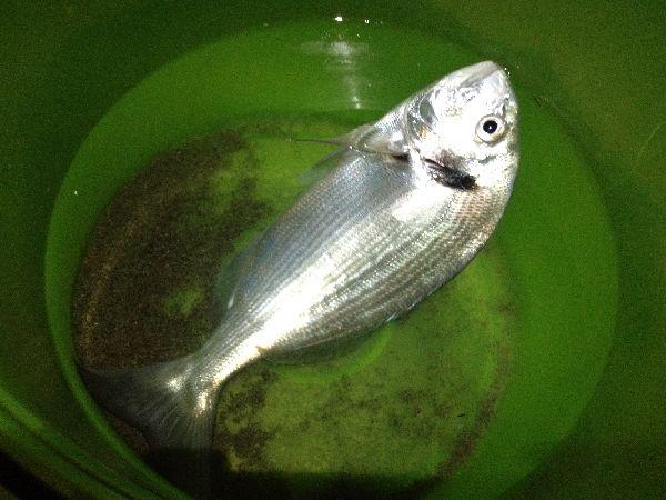 orata a pescia romana
