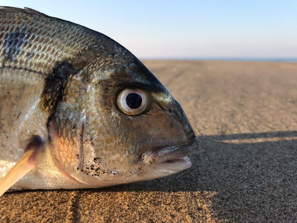 pesca a fondo all'orata alla alba